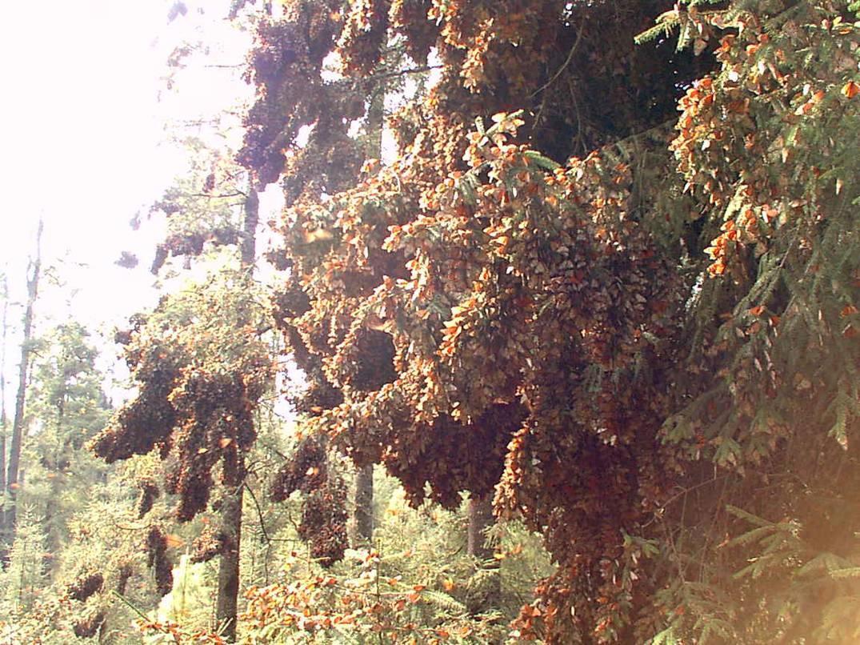Pisode 118 invasion royale des papillons monarques vrcamping le site 1 au canada sur le - Invasion papillon de nuit ...