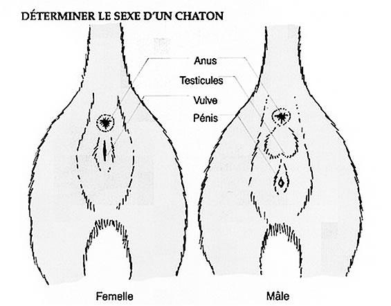 avenue du sexe comment reconnaitre le sexe d un chaton
